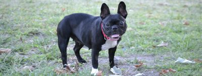 Bulldog Francés Razas de Perros