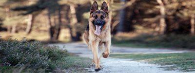 El Pastor Alemán, una raza de perro grande